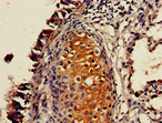 Immunohistochemistry of paraffin-embedded human lung tissue using P2RX4 Antibody at dilution of 1:100