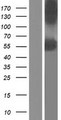 P3H4 / LEPREL4 Protein - Western validation with an anti-DDK antibody * L: Control HEK293 lysate R: Over-expression lysate