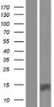 PATE4 Protein - Western validation with an anti-DDK antibody * L: Control HEK293 lysate R: Over-expression lysate