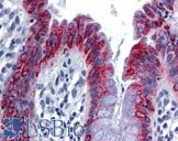 AGR2 Antibody - Anti-AGR2 antibody IHC of human colon. Immunohistochemistry of formalin-fixed, paraffin-embedded tissue after heat-induced antigen retrieval. Antibody concentration 5 ug/ml.  This image was taken for the unconjugated form of this product. Other forms have not been tested.