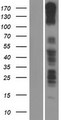 PCDH11X / Protocadherin 11 Protein - Western validation with an anti-DDK antibody * L: Control HEK293 lysate R: Over-expression lysate