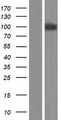 PCDHA11 Protein - Western validation with an anti-DDK antibody * L: Control HEK293 lysate R: Over-expression lysate