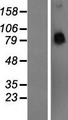 PCDHA4 Protein - Western validation with an anti-DDK antibody * L: Control HEK293 lysate R: Over-expression lysate