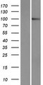 PCDHA9 Protein - Western validation with an anti-DDK antibody * L: Control HEK293 lysate R: Over-expression lysate
