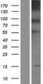 PCDHB4 / Protocadherin Beta 4 Protein - Western validation with an anti-DDK antibody * L: Control HEK293 lysate R: Over-expression lysate