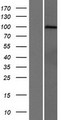 PCDHGA7 Protein - Western validation with an anti-DDK antibody * L: Control HEK293 lysate R: Over-expression lysate