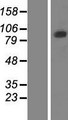 PCDHGB5 Protein - Western validation with an anti-DDK antibody * L: Control HEK293 lysate R: Over-expression lysate