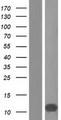 PCP4L1 Protein - Western validation with an anti-DDK antibody * L: Control HEK293 lysate R: Over-expression lysate