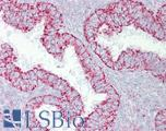 Anti-PDGFB antibody IHC of human uterus. Immunohistochemistry of formalin-fixed, paraffin-embedded tissue after heat-induced antigen retrieval. Antibody LS-B6945 concentration 5 ug/ml.  This image was taken for the unconjugated form of this product. Other forms have not been tested.