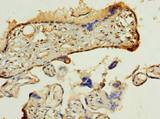 PDIA5 / PDIR Antibody - Immunohistochemistry of paraffin-embedded human placenta using antibody at dilution of 1:100.