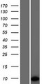 PET117 Protein - Western validation with an anti-DDK antibody * L: Control HEK293 lysate R: Over-expression lysate