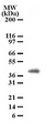 PGLYRP4 Antibody - Western blot of PGRP-1beta in cell lysates from human brain using antibody at a dilution of 2 ug/ml.