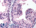 Anti-PHF2 antibody IHC of human prostate. Immunohistochemistry of formalin-fixed, paraffin-embedded tissue after heat-induced antigen retrieval. Antibody LS-B172 concentration 20 ug/ml.