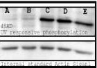 Western blot analysis of the phosphorylated proteins with UV-treated cell lysates mouse spleen cell. Bands are responsive to treatment with varying long UV wavelengths: A(0), B(50), C(200), D(400), and E (treated with 0.1 uM okadaic acid).