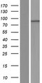 PHTF1 Protein - Western validation with an anti-DDK antibody * L: Control HEK293 lysate R: Over-expression lysate