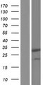 PIH1D3 Protein - Western validation with an anti-DDK antibody * L: Control HEK293 lysate R: Over-expression lysate