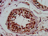 PIN4 Antibody - Immunohistochemistry image at a dilution of 1:800 and staining in paraffin-embedded human testis tissue performed on a Leica BondTM system. After dewaxing and hydration, antigen retrieval was mediated by high pressure in a citrate buffer (pH 6.0) . Section was blocked with 10% normal goat serum 30min at RT. Then primary antibody (1% BSA) was incubated at 4 °C overnight. The primary is detected by a biotinylated secondary antibody and visualized using an HRP conjugated SP system.