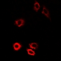 PIWIL1 / PIWI Antibody - Immunofluorescent analysis of HIWI1 staining in U2OS cells. Formalin-fixed cells were permeabilized with 0.1% Triton X-100 in TBS for 5-10 minutes and blocked with 3% BSA-PBS for 30 minutes at room temperature. Cells were probed with the primary antibody in 3% BSA-PBS and incubated overnight at 4 deg C in a humidified chamber. Cells were washed with PBST and incubated with a DyLight 594-conjugated secondary antibody (red) in PBS at room temperature in the dark.
