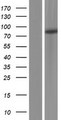 PKP3 / Plakophilin 3 Protein - Western validation with an anti-DDK antibody * L: Control HEK293 lysate R: Over-expression lysate