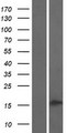 PLA2G2C Protein - Western validation with an anti-DDK antibody * L: Control HEK293 lysate R: Over-expression lysate
