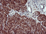 IHC of paraffin-embedded Human pancreas tissue using anti-CSH1 mouse monoclonal antibody. (Heat-induced epitope retrieval by 10mM citric buffer, pH6.0, 120°C for 3min).