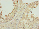 PNMA1 / MA1 Antibody - Immunohistochemistry of paraffin-embedded human testis tissue using PNMA1 Antibody at dilution of 1:100