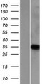 PNRC1 Protein - Western validation with an anti-DDK antibody * L: Control HEK293 lysate R: Over-expression lysate