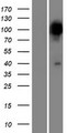 PPEF2 Protein - Western validation with an anti-DDK antibody * L: Control HEK293 lysate R: Over-expression lysate