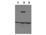 PPP1R13B Antibody - Anti-ASPP1 Antibody - Western Blot. Western blot of affinity purified anti-ASPP1 to detect over-expressed ASPP1 in MCF-7 cells (lane 2, arrowhead). Lane 1 is a non-transfected control. Lane 3 is MCF-7 cells over-expressing ASPP2. Cell extracts were electrophoresed and transferred to nitrocellulose. The membrane was probed with the primary antibody at a 1:1000 dilution. The identity of the lower MW band at approximately 50kD is unknown. Primary experimental data indicate that the unknown band intensifies in extracts from p53 siRNA knockdown cells. Personal Communication, H. Yang, Univ. Oklahoma, Oklahoma City, OK.