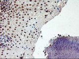 IHC of paraffin-embedded Human tonsil using anti-PPP1R15A mouse monoclonal antibody.