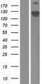 PPP1R18 Protein - Western validation with an anti-DDK antibody * L: Control HEK293 lysate R: Over-expression lysate