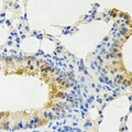 Immunohistochemical analysis of PPX staining in rat lung formalin fixed paraffin embedded tissue section. The section was pre-treated using heat mediated antigen retrieval with sodium citrate buffer (pH 6.0). The section was then incubated with the antibody at room temperature and detected using an HRP conjugated compact polymer system. DAB was used as the chromogen. The section was then counterstained with hematoxylin and mounted with DPX.