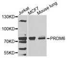 PRDM6 Antibody - Western blot analysis of extracts of various cells.