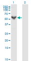 PRF1 / Perforin Antibody - Western Blot analysis of PRF1 expression in transfected 293T cell line by PRF1 monoclonal antibody (M04), clone 3B4.Lane 1: PRF1 transfected lysate(61.4 KDa).Lane 2: Non-transfected lysate.