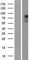 PRKCQ / PKC-Theta Protein - Western validation with an anti-DDK antibody * L: Control HEK293 lysate R: Over-expression lysate