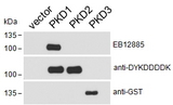 PRKD1 / PKC Mu Antibody - HEK293 lysate overexpressing Human DYKDDDDK-tagged PKD1, Human DYKDDDDK-tagged PKD2 or Human GST-tagged PKD3 probed with Goat anti-PRKD1 (aa233-246) Antibody (0.1ug/ml) in top panel, probed with anti-DYKDDDDK in middle panel and probed with anti-GST in bottom panel. Data kindly obtained from Dr Peter Storz, Mayo Clinic, USA.