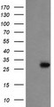 HEK293T cells were transfected with the pCMV6-ENTRY control (Left lane) or pCMV6-ENTRY PROSC (Right lane) cDNA for 48 hrs and lysed. Equivalent amounts of cell lysates (5 ug per lane) were separated by SDS-PAGE and immunoblotted with anti-PROSC.