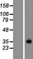 PRSS38 Protein - Western validation with an anti-DDK antibody * L: Control HEK293 lysate R: Over-expression lysate