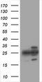 PSMA2 Antibody - HEK293T cells were transfected with the pCMV6-ENTRY control (Left lane) or pCMV6-ENTRY PSMA2 (Right lane) cDNA for 48 hrs and lysed. Equivalent amounts of cell lysates (5 ug per lane) were separated by SDS-PAGE and immunoblotted with anti-PSMA2.
