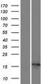 PSORS1C1 Protein - Western validation with an anti-DDK antibody * L: Control HEK293 lysate R: Over-expression lysate