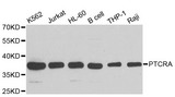 PTCRA Antibody - Western blot analysis of extracts of various cell lines.