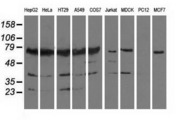 Western blot of extracts (35 ug) from 9 different cell lines by using anti-PUS7 monoclonal antibody.