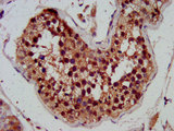 Immunohistochemistry image at a dilution of 1:300 and staining in paraffin-embedded human testis tissue performed on a Leica BondTM system. After dewaxing and hydration, antigen retrieval was mediated by high pressure in a citrate buffer (pH 6.0) . Section was blocked with 10% normal goat serum 30min at RT. Then primary antibody (1% BSA) was incubated at 4 °C overnight. The primary is detected by a biotinylated secondary antibody and visualized using an HRP conjugated SP system.