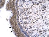 GTF2F2 antibody ARP31437_P050-NP_004119-GTF2F2 (general transcription factor IIF, polypeptide 2, 30kDa) Antibody was used in IHC to stain formalin-fixed, paraffin-embedded human spermatophore.  This image was taken for the unconjugated form of this product. Other forms have not been tested.