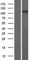 RASAL3 Protein - Western validation with an anti-DDK antibody * L: Control HEK293 lysate R: Over-expression lysate