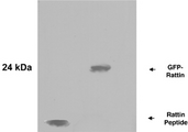 Rattin Antibody - A. Synthetic Rattin peptide B. Lysate of 293 T cells expressing RattinGFP.