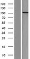 RBM15B Protein - Western validation with an anti-DDK antibody * L: Control HEK293 lysate R: Over-expression lysate