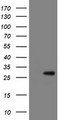 RBPMS / Hermes Antibody - HEK293T cells were transfected with the pCMV6-ENTRY control (Left lane) or pCMV6-ENTRY RBPMS (Right lane) cDNA for 48 hrs and lysed. Equivalent amounts of cell lysates (5 ug per lane) were separated by SDS-PAGE and immunoblotted with anti-RBPMS.
