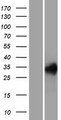 REM1 / REM-1 Protein - Western validation with an anti-DDK antibody * L: Control HEK293 lysate R: Over-expression lysate