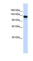 UPF1 antibody Western blot of Transfected 293T cell lysate. This image was taken for the unconjugated form of this product. Other forms have not been tested.